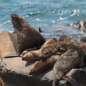 ZA.Hermanus.Robbe Schlafende Robben auf einem Stein in der Region rund um den Hafen von Hermanus, Südafrika