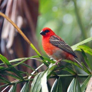 SC.Bird_Island_Madagaskarweber Der Blick auf den roten Madagaskarweber (Red Madagascar Fody) Vogel.