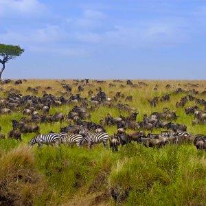 KE.Wilde Herde in Masai Mara NP