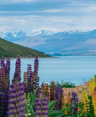 NZ.Lake Tekapo. Lupinen