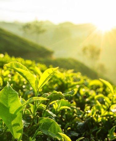 LKA.tea plantation