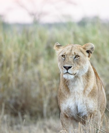 TZA.Serengeti.Lion