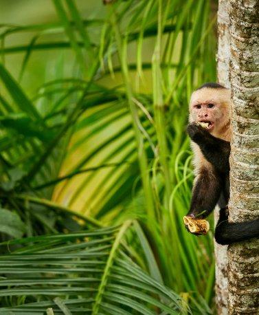 CRI.Costa Rica Affe