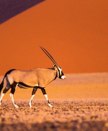 NAM.Sossusvlei.Antilope