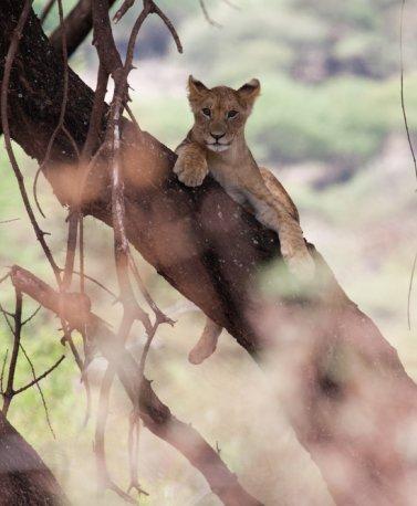 TZA.Lake Manyara.Löwe auf Baum