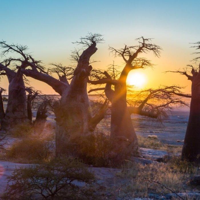 NAM.Kalahari.Baobab Bäume