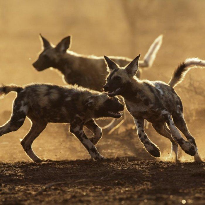 ZAF.Pongola Game Reserve.Wild dogs