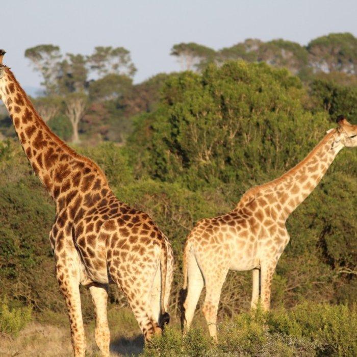 ZAF.Kariega.Giraffe