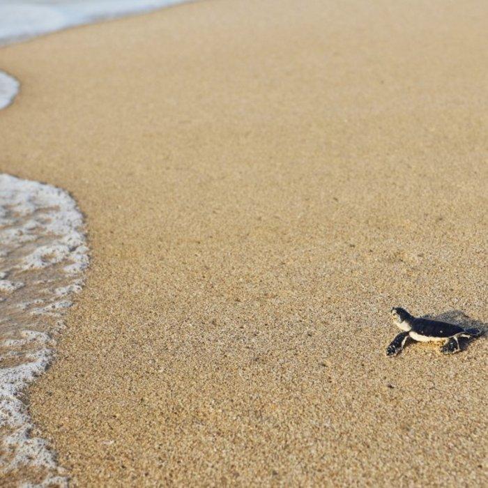 OMN.Ras al Jinz.Baby Turtle