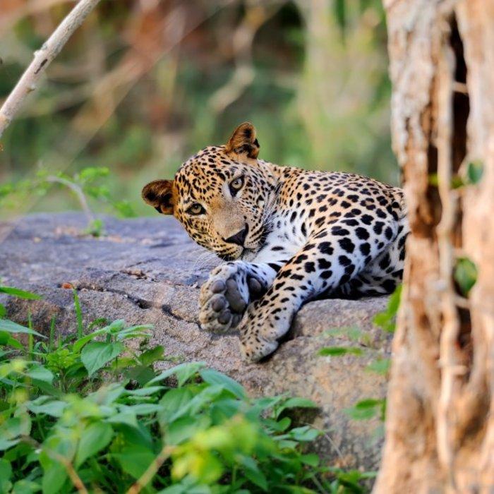 LKA.Yala Leopard