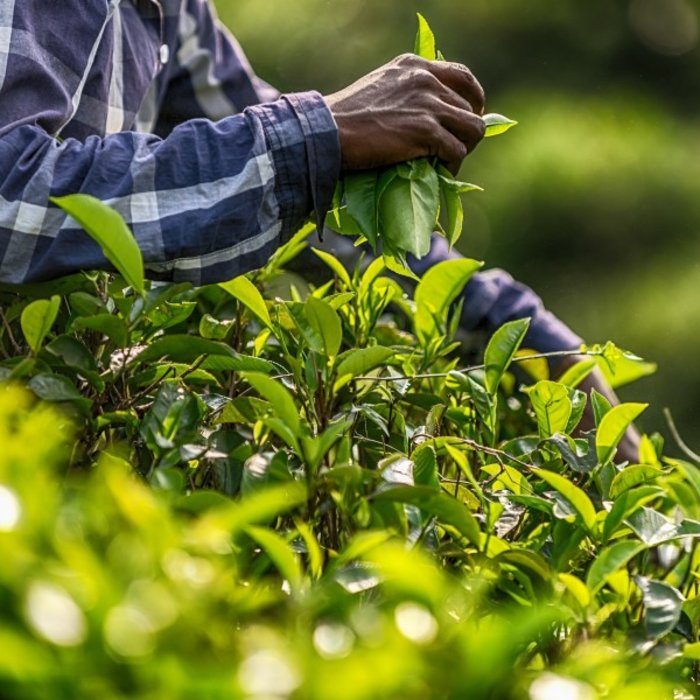 LKA.Ella tea picking