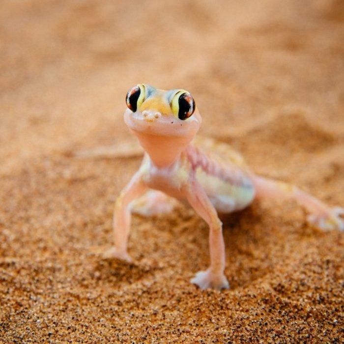 NAM.Swakopmund.Gecko in Namibwüste