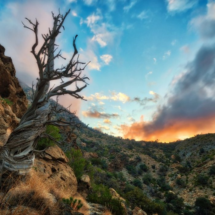 OMN.Jebel Akhdar.Baum in Tal