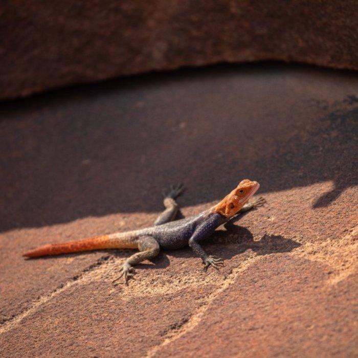 NAM.Twyfelfontein.Gecko