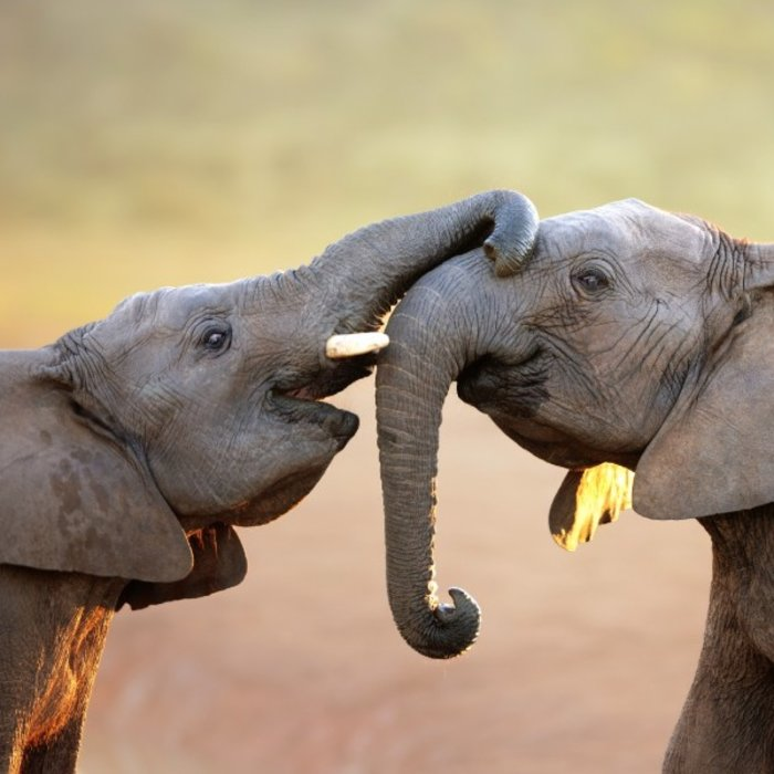 ZAF.Addo Elephant NP.Elephants greeting