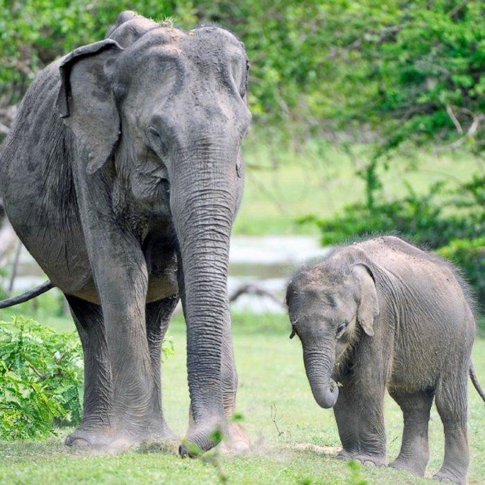LKA.YalaNationalpark.Elefanten