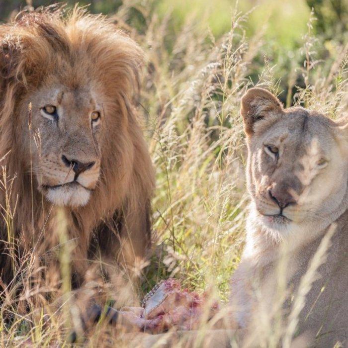 ZAF.Schotia Game Reserve.Lions