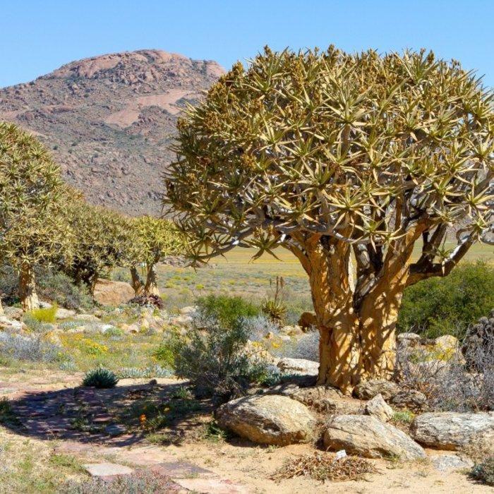 ZAF.Springbok.The Quiver tree