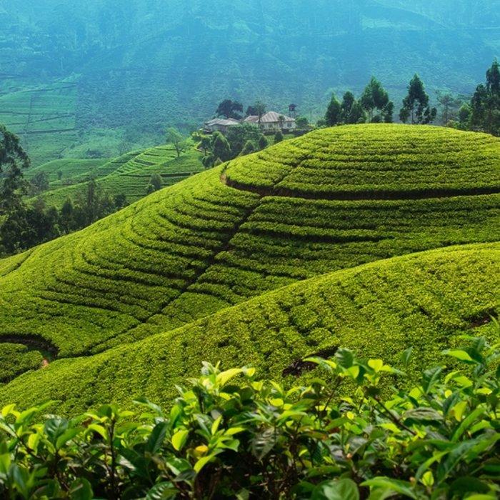 LKA.Nuwara Eliya.Teeplantage