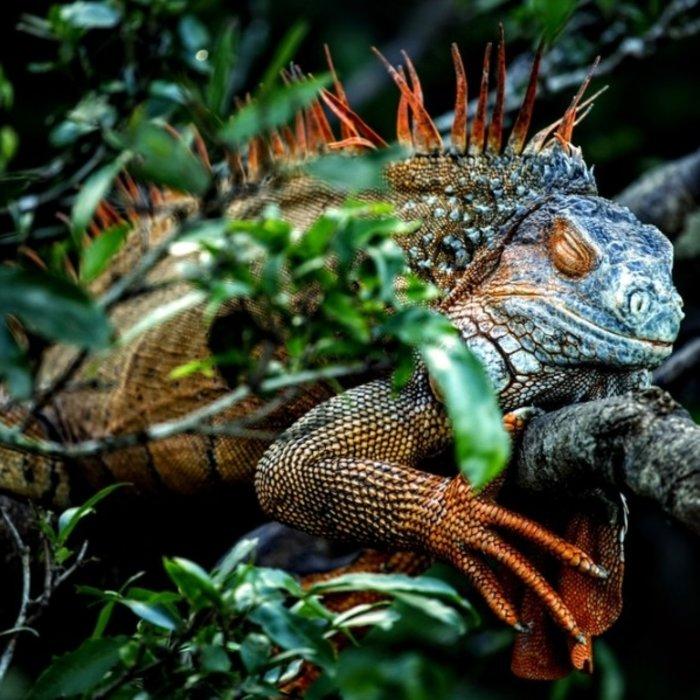 CRI.Rincon de la Vieja NP.Grüner Iguana