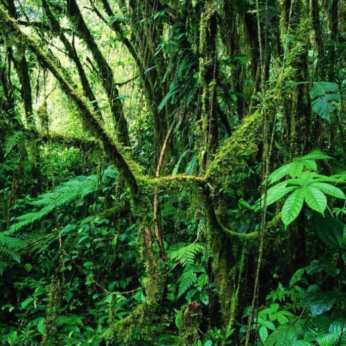 CR.Monteverde.Regenwald