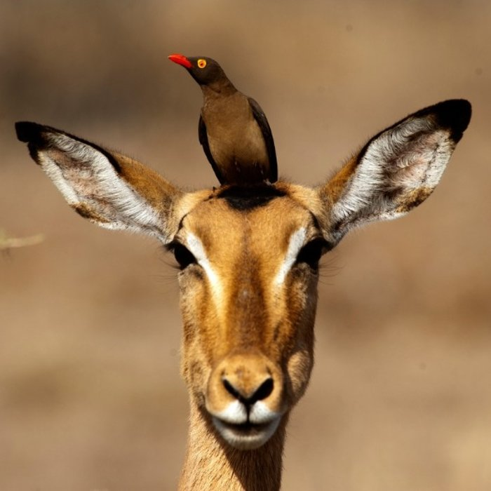 ZAF.Krüger NP.Antilope