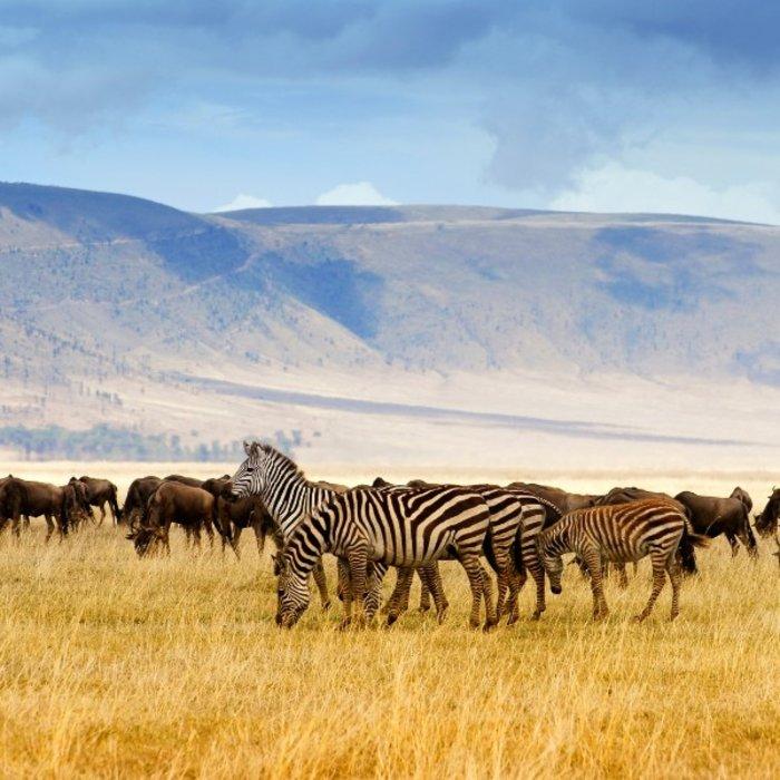 TZA.Karatu.Zebras