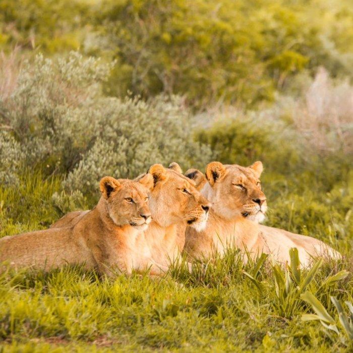 ZAF.Hluhluwe.Löwen