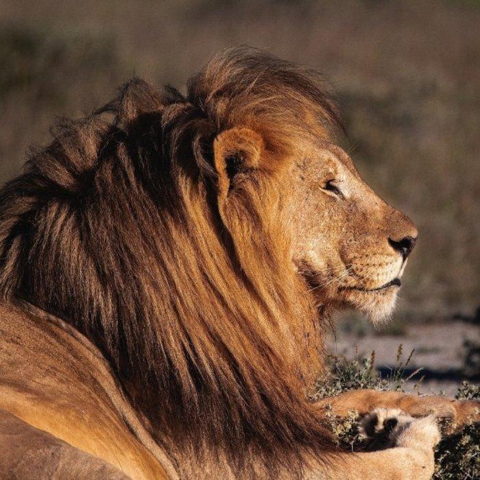 NAM.Etosha Nationalpark.Löwe
