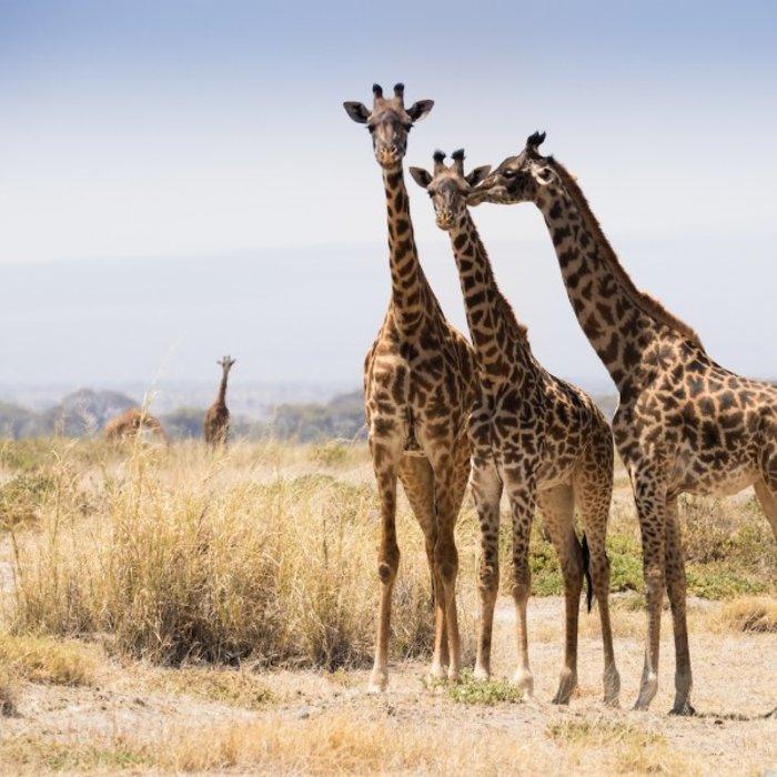BWA.Chopbe NP.Giraffen