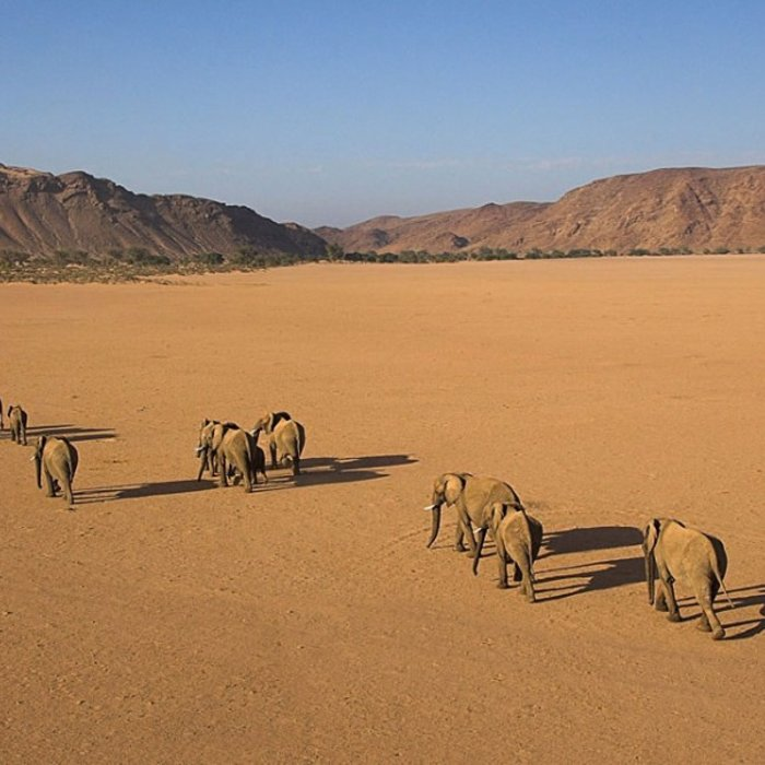 NAM.Damaraland.Wüstenelefanten