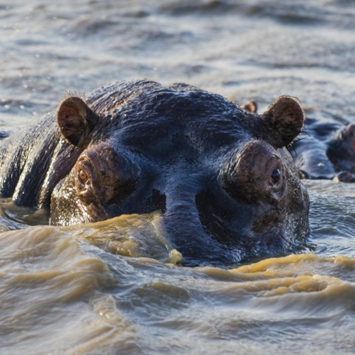 ZAF.St. Lucia See.Hippos