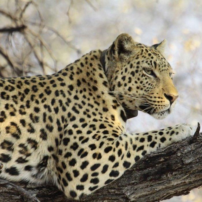 NAM.Okonjima Nature Reserve.Wildkatze