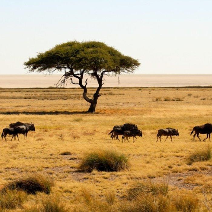 NAM.Etosha Nationalpark.Büffel