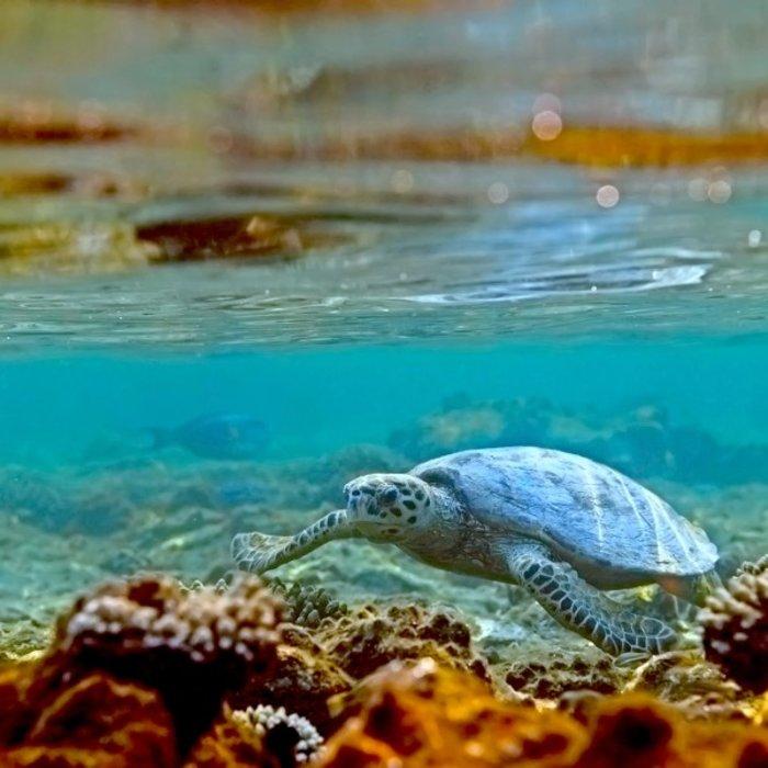 OMN.Ras al Jinz.Turtle underwater