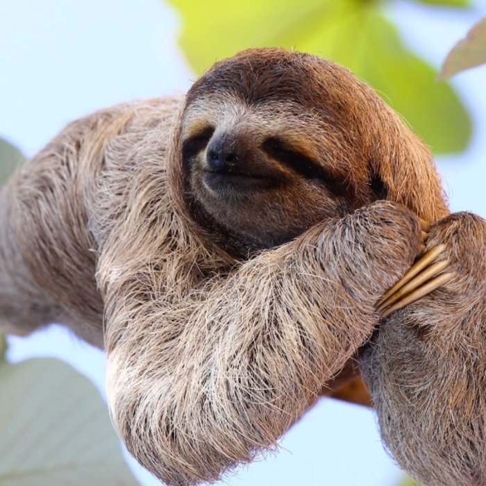 CRI.happy sloth