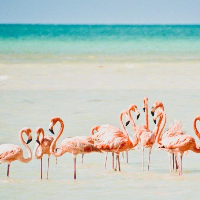 Isla Holbox_Flamingo