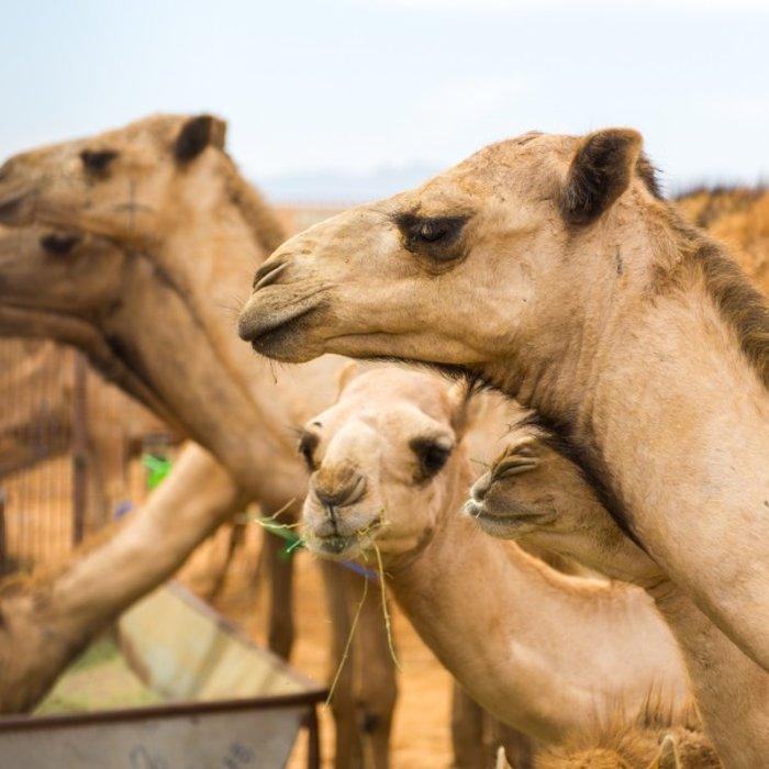 VAE.Al Ain.Kamelmarkt