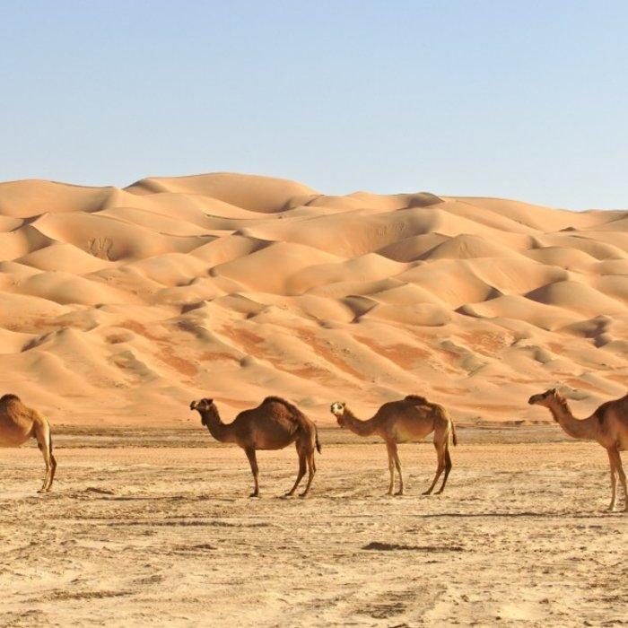 OMN.Rub al Khali.Kamele in der Wüste