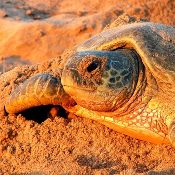 OMN.Ras al Jinz.Schildkröte am Strand