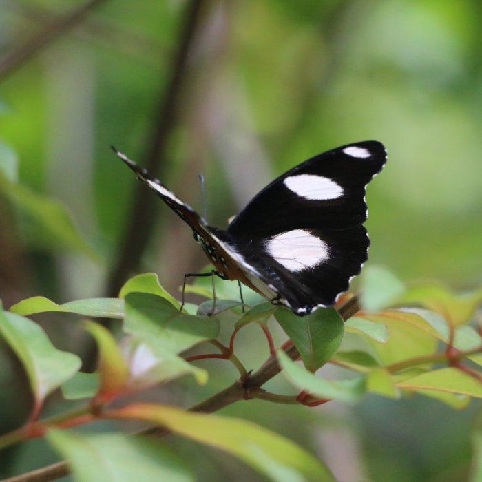 Ein Schmetterling auf einem Strauch im Jozani-Chwaka-Bay-Nationalpark auf Sansibar
