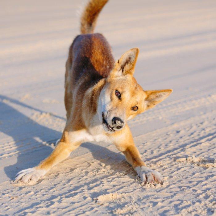 Süßer Dingo am Strand von Fraser Island.