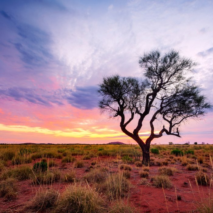 AU.Outback Baum mitten im Outback