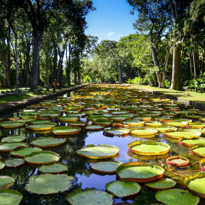 MU.Botanischer_Garten_von_Pamplemousses Der Botanische Garten von Pamplemousses, Mauritius