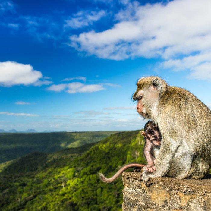 """Affenmutter mit Kind auf Stein im """"Black River Gorges National Park"""" in Mauritius"""
