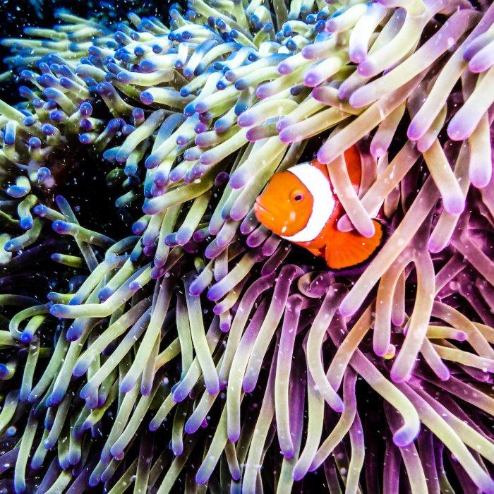 Clown Fish versteckt in einer Seeanemone.