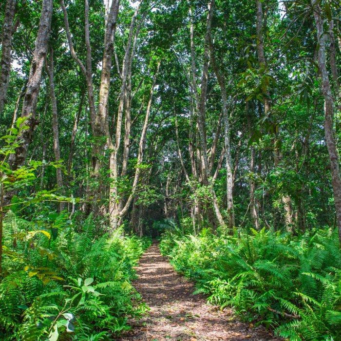 Die grünen Wälder des Jozani-Chwaka-Bay-Nationalparks auf Sansibar