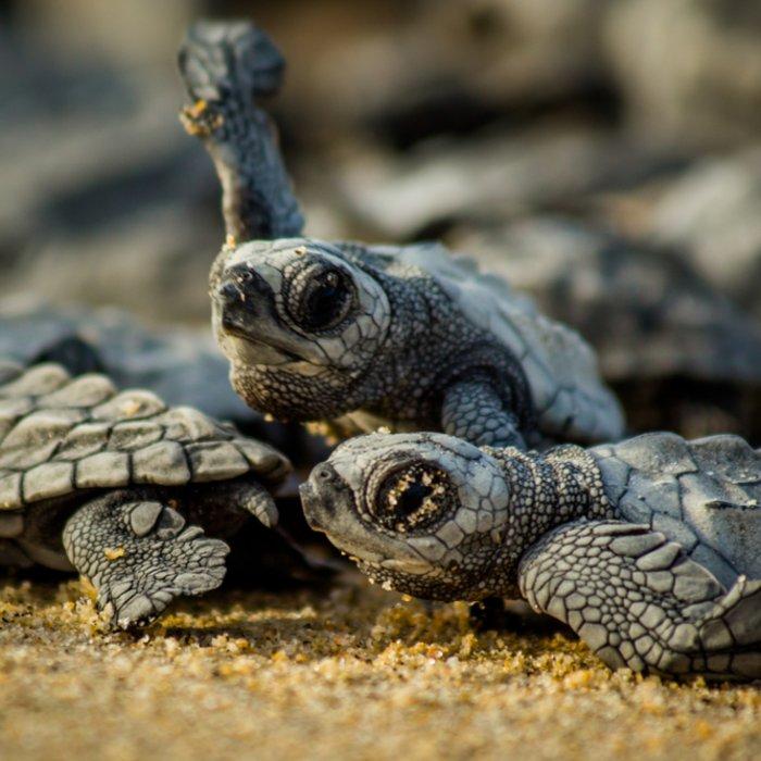 Babyschildkröten beim jährlichen Kampf ums Überleben