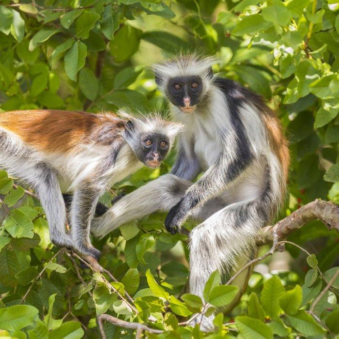 Zwei Rote Colobus Affen im Baum des Jozani-Chwaka-Bay-Nationalpark auf Sansibar