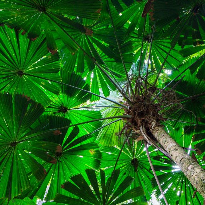 AU.Cape Tribulation Palm Tropische Palmblätter im Cape Tribulation in Australien.
